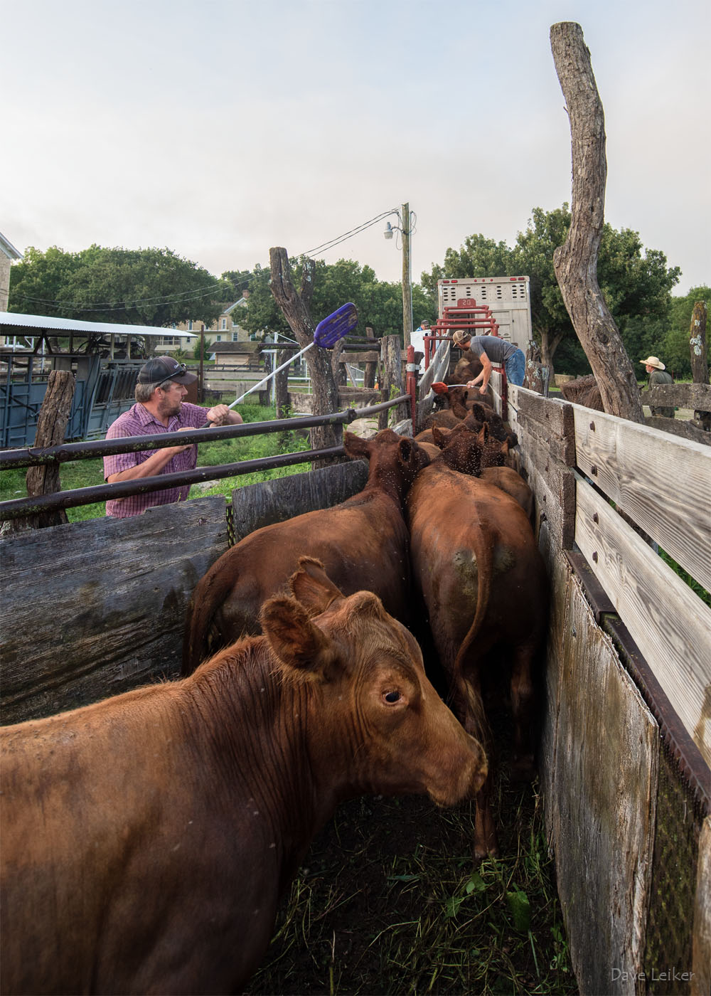 Loading cattle at the Sauble Ranch, 2017