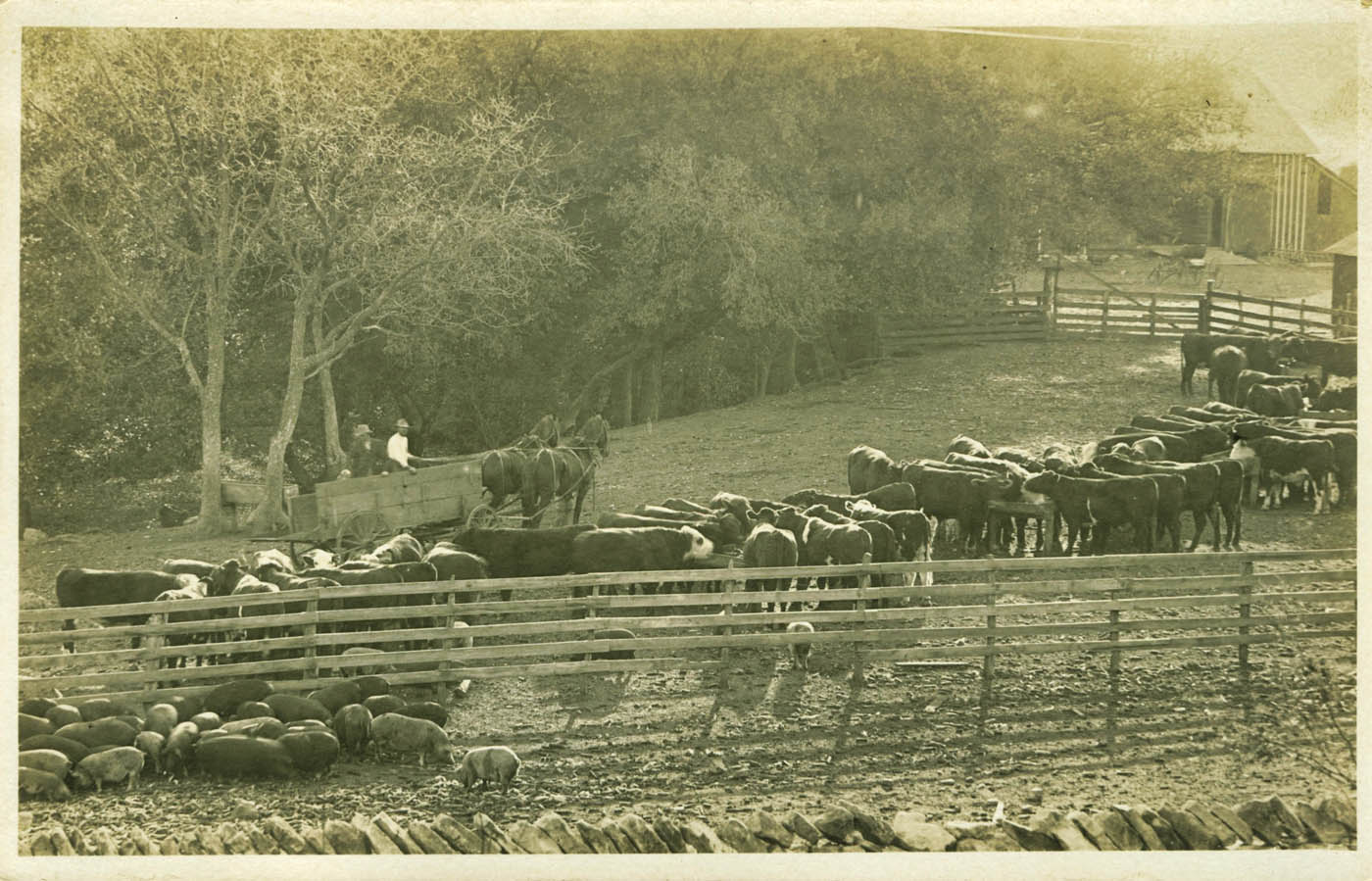 Cattle in the corral