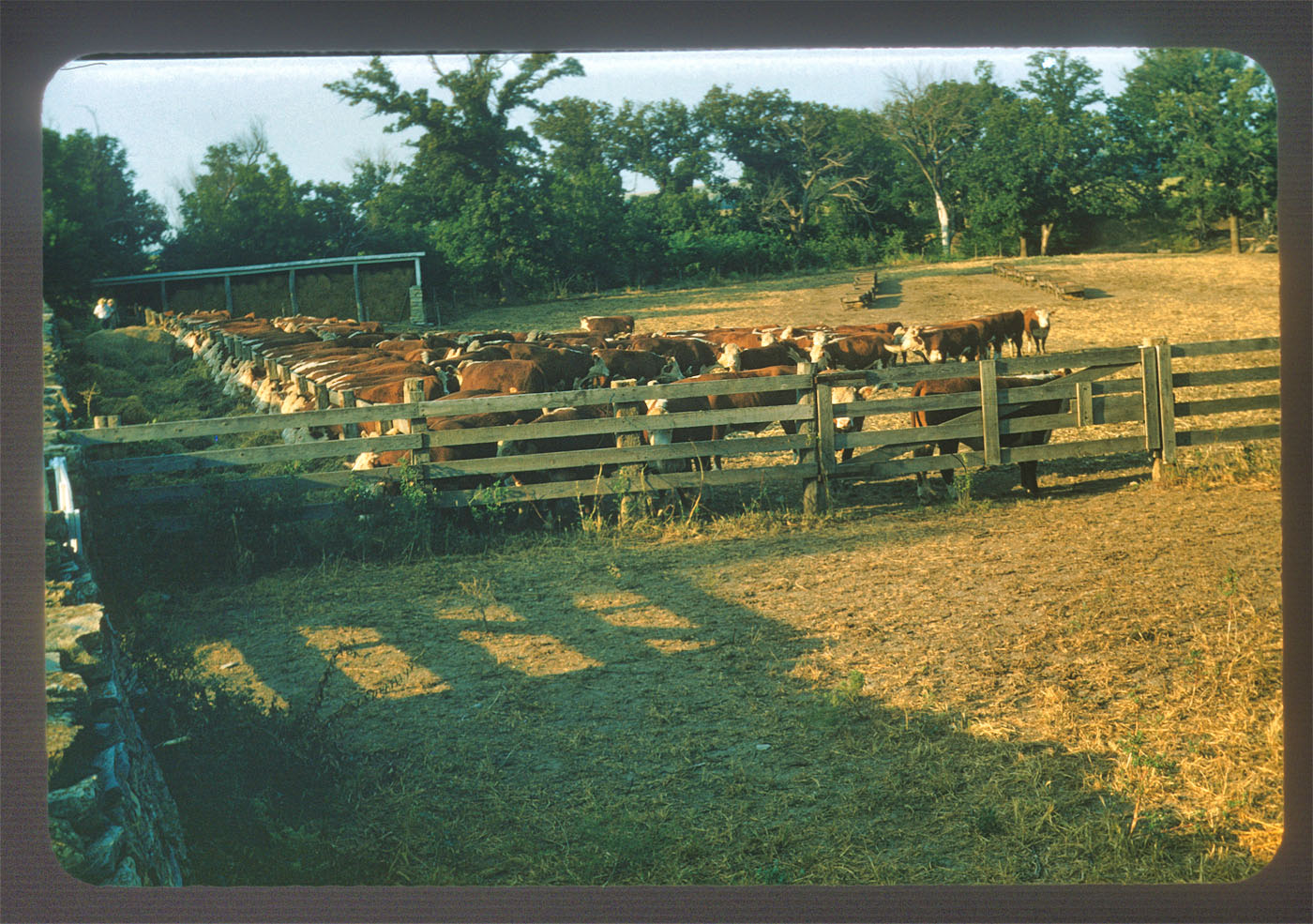 Cattle with stock shed in background
