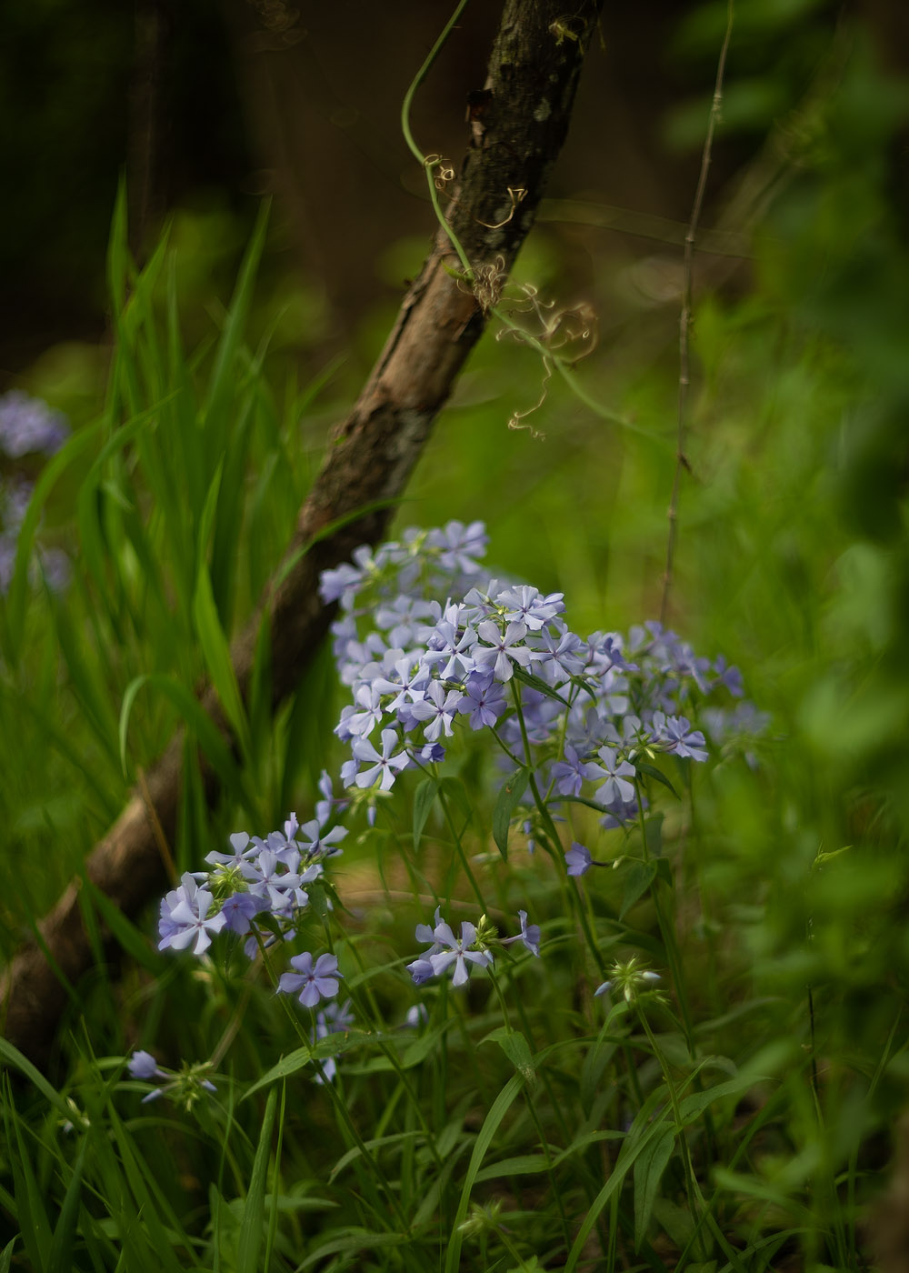 A patch of blue wild phlox wildflower next to a tree