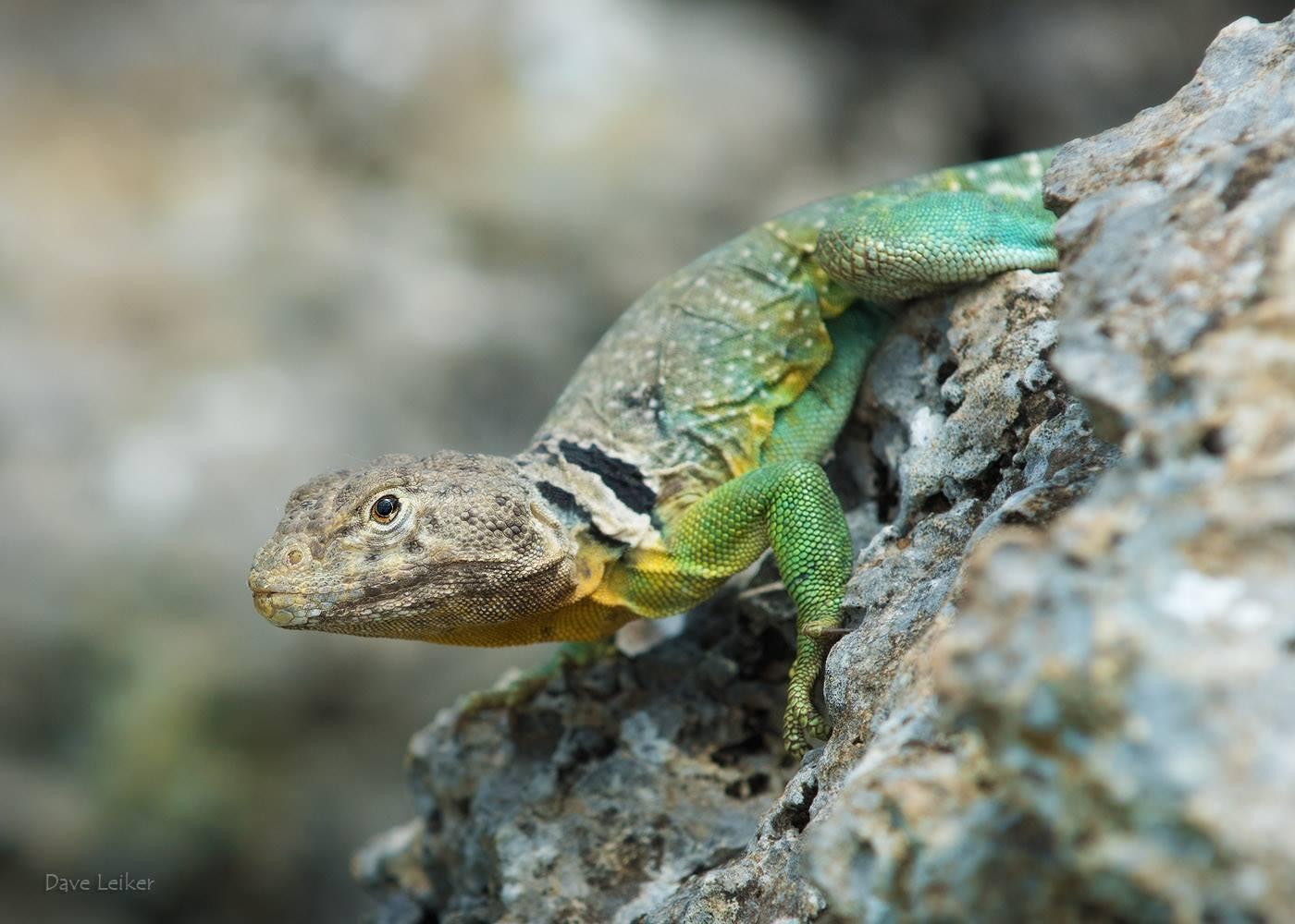 Collared lizard on rocks