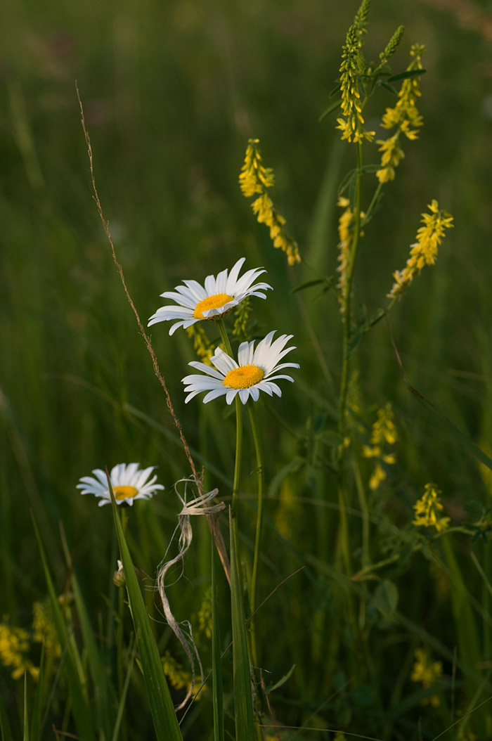 Ox-eye Daisies and Yellow Sweet Clover