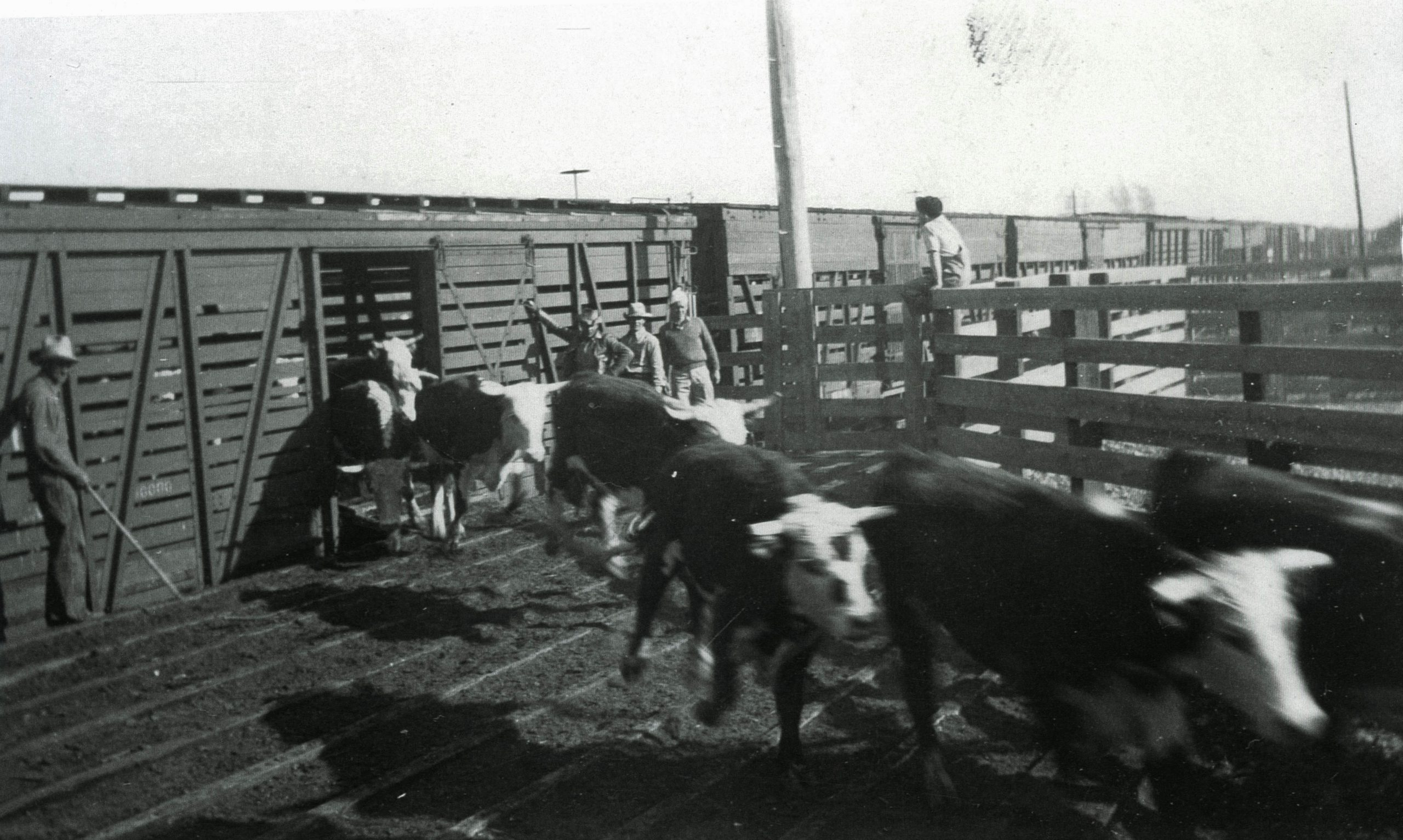 Cattle being unloaded from railroad cars